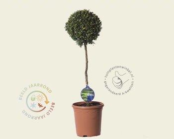Boom In Pot Buiten.Kleine Bomen Op Stam Vertrouwd Online Kopen