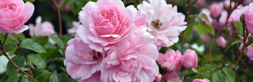 Doorbloeiende rozen verzorgen
