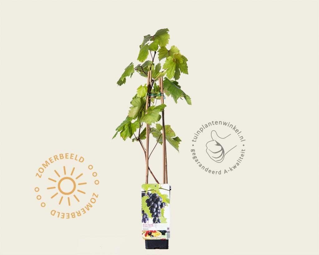 Vitis vinifera 'Heike'