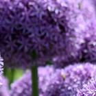 Allium bollen (Sierui)