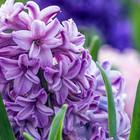 Hyacintbollen