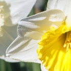 Narcisbollen