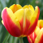 Tulpenbollen