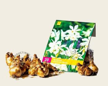 Narcissus triandrus 'Thalia'