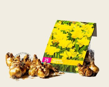 Narcissus 'Tête-a-Tête'