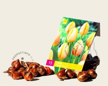 Tulipa 'Mango Charm'