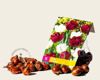Tulipa Grandeur