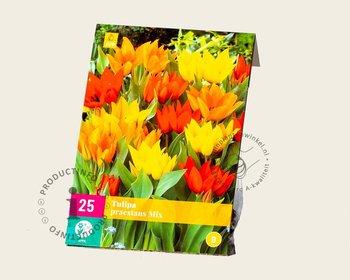 Tulipa praestans Mix