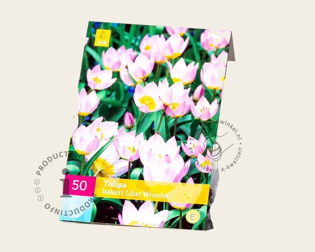 Tulipa bakeri 'Lilac Wonder'