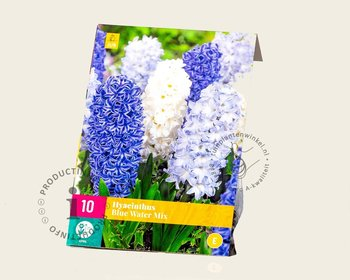 Hyacinthus Blue Water Mix