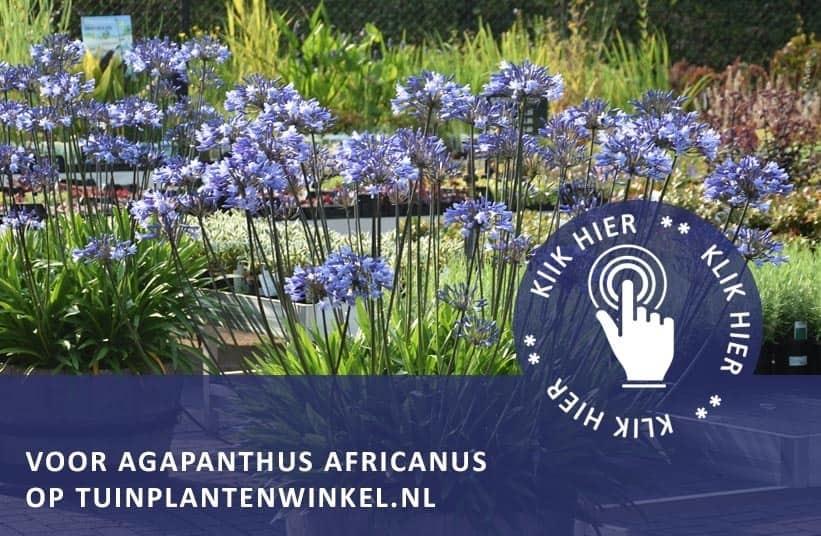 agapanthus africanus afrikaanse lelie