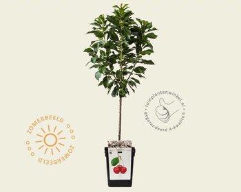 Prunus avium 'Morellenfeuer' - patio