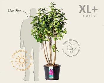 Syringa vulgaris 'Andenken an Ludwig Späth' - XL+