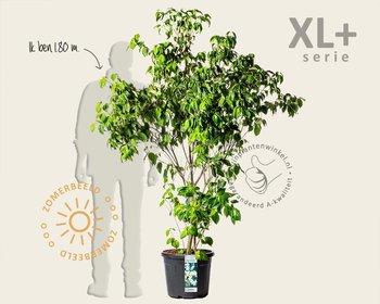 Cornus kousa chinensis - XL+
