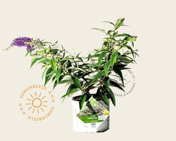 Buddleja davidii 'Purple Chip'