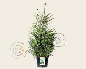 Picea omorika - in pot