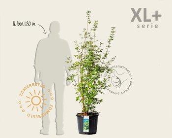 Acer griseum - XL+