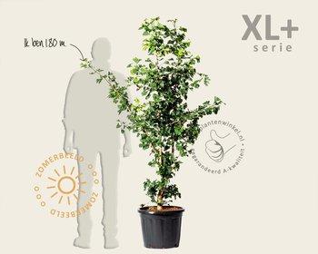 Ginkgo biloba - XL+