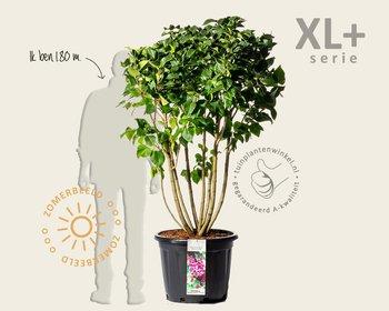 Syringa vulgaris 'Michel Buchner' - XL+