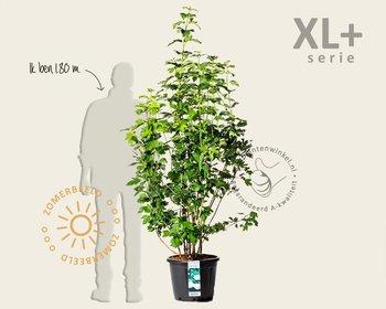 Viburnum opulus 'Roseum' - XL+