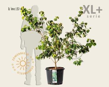 Cornus kousa 'Satomi' - XL+