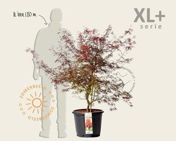Acer palmatum 'Garnet' - XL+