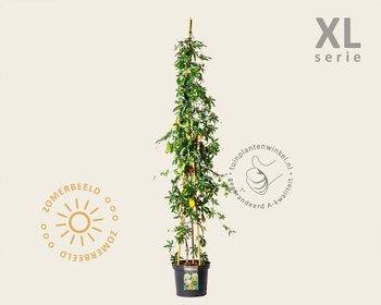 Passiflora caerulea - XL