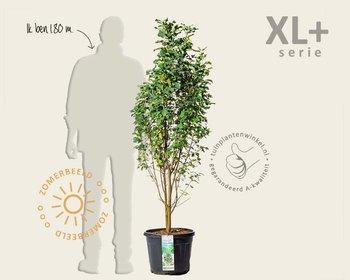 Amelanchier alnifolia 'Obelisk' - XL+