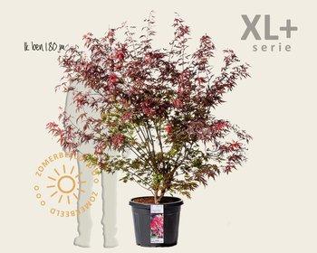 Acer palmatum 'Atropurpureum' - XL+