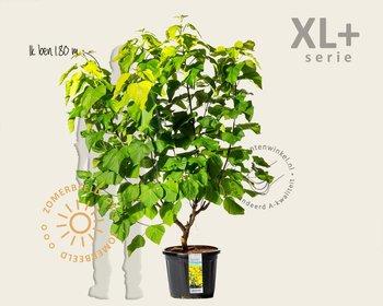Catalpa bignonioides 'Aurea' - XL+