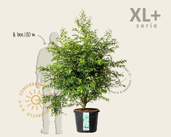 Styrax japonicus - XL+