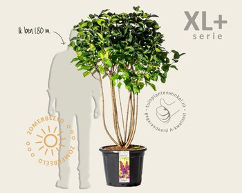 Syringa vulgaris 'Charles Joly' - XL+
