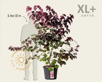 Cercis canadensis 'Forest Pansy' - XL+