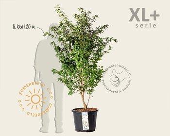 Prunus nipponica 'Brillant' - XL+