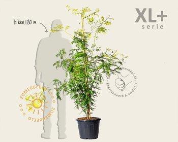 Gleditsia triacanthos 'Sunburst' - XL+