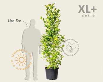Magnolia kobus - XL+