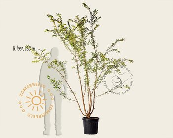 Prunus subhirtella 'Autumnalis Rosea' - meerstammig