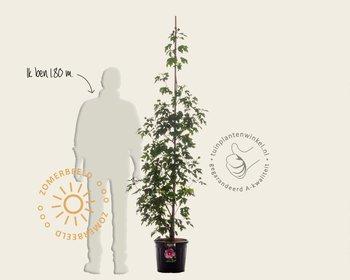 Hibiscus x 'Resi' - beveerd