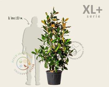 Magnolia grandiflora - XL+