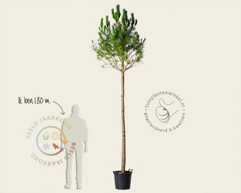 Pinus Pinea - hoogstam