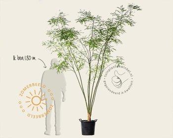 Sophora japonicum - meerstammig