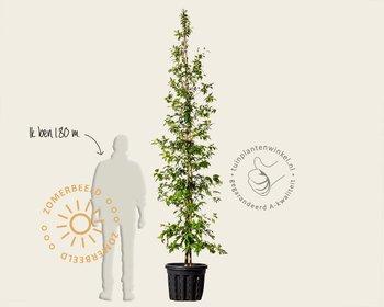 Stewartia pseudocamellia - beveerd