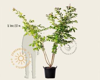 Prunus serrulata 'Fugenzo' - meerstammig