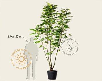 Pterocarya fraxinifolia - meerstammig