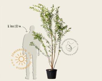 Prunus 'Pandora' - meerstammig