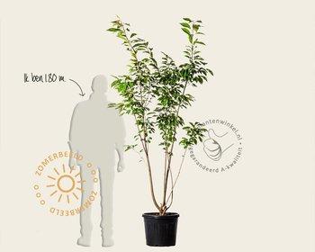 Prunus serrulata 'Ukon' - meerstammig