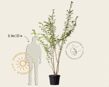 Prunus 'Accolade' - meerstammig
