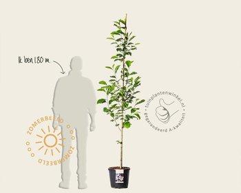 Magnolia loebnerii 'Merrill' - beveerd