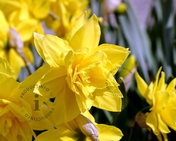 Narcissus 'Golden Ducat'