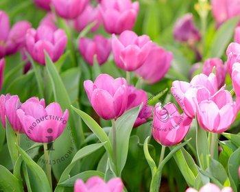 Tulipa triumph Roze